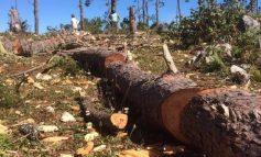 De la sauvegarde de la forêt des pins, qu'en est-il aujourd'hui?