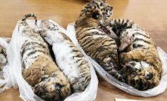7 tigres congelés retrouvés dans une voiture au Vietnam