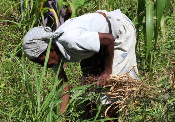 Les dessous de la baisse de la production agricole en Haiti